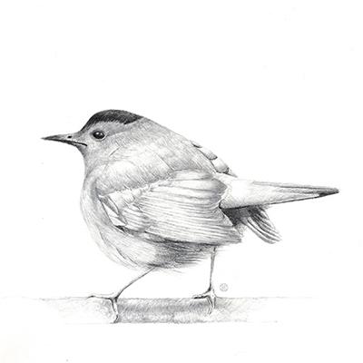metal point drawing of a single catbird by artist Kristin Maija Peterson