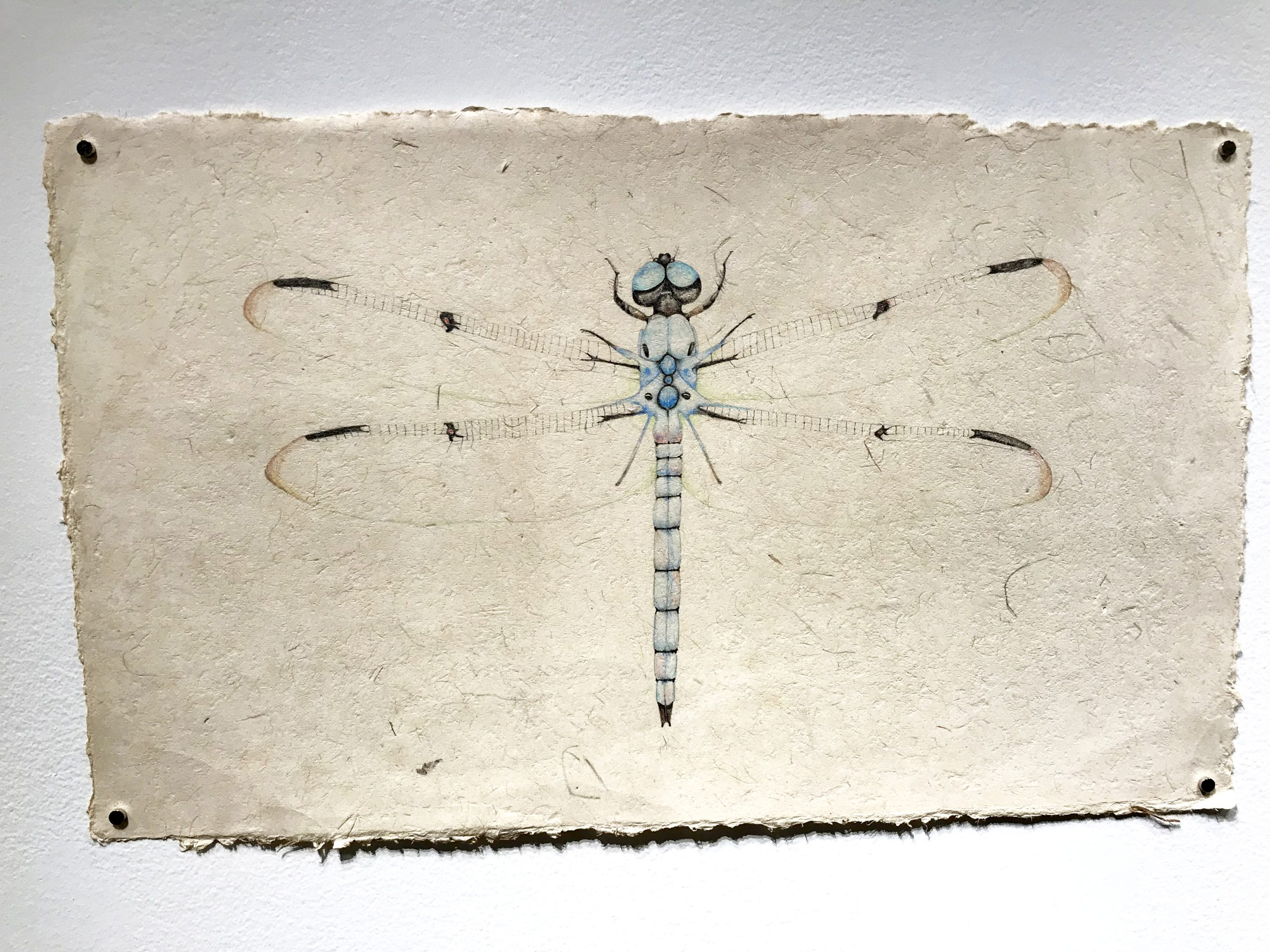 drawing of huge dragonfly on handmade paper by Kristin Maija Peterson