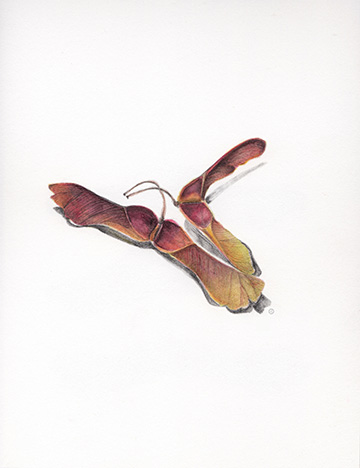 artwork momiji maple seeds watercolor