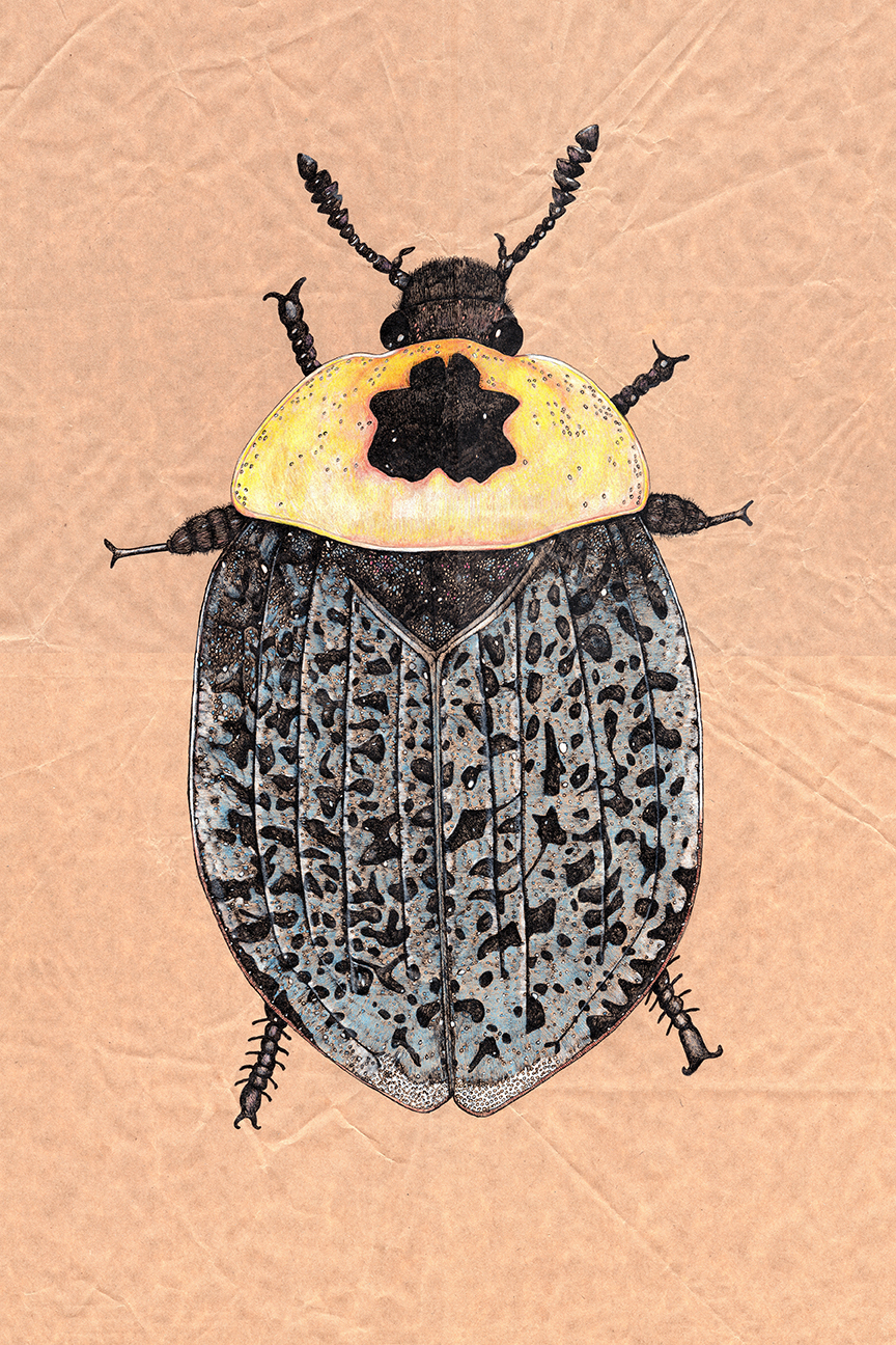 american-carrion-beetle-ink-drawing-butcher-paper